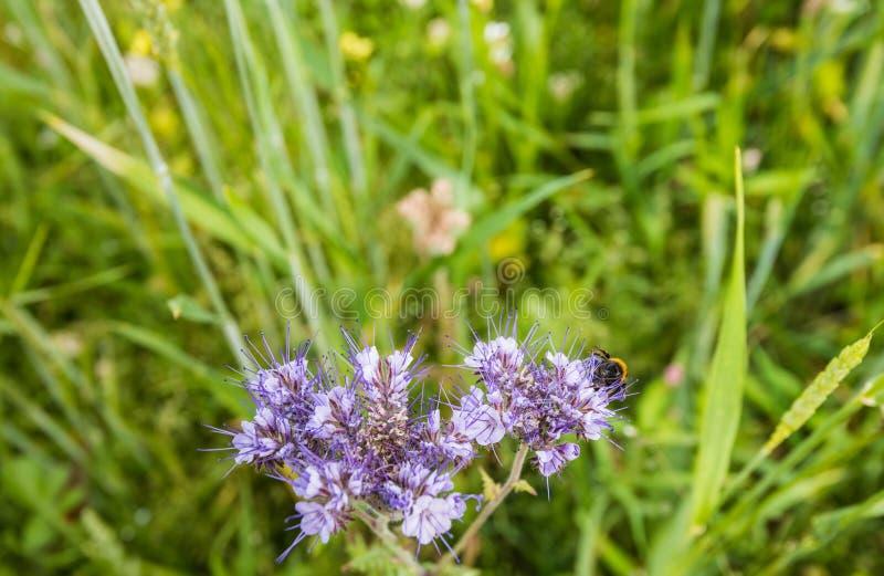 Violettes blühendes Lacy Phacelia besucht durch eine Hummel lizenzfreie stockfotos