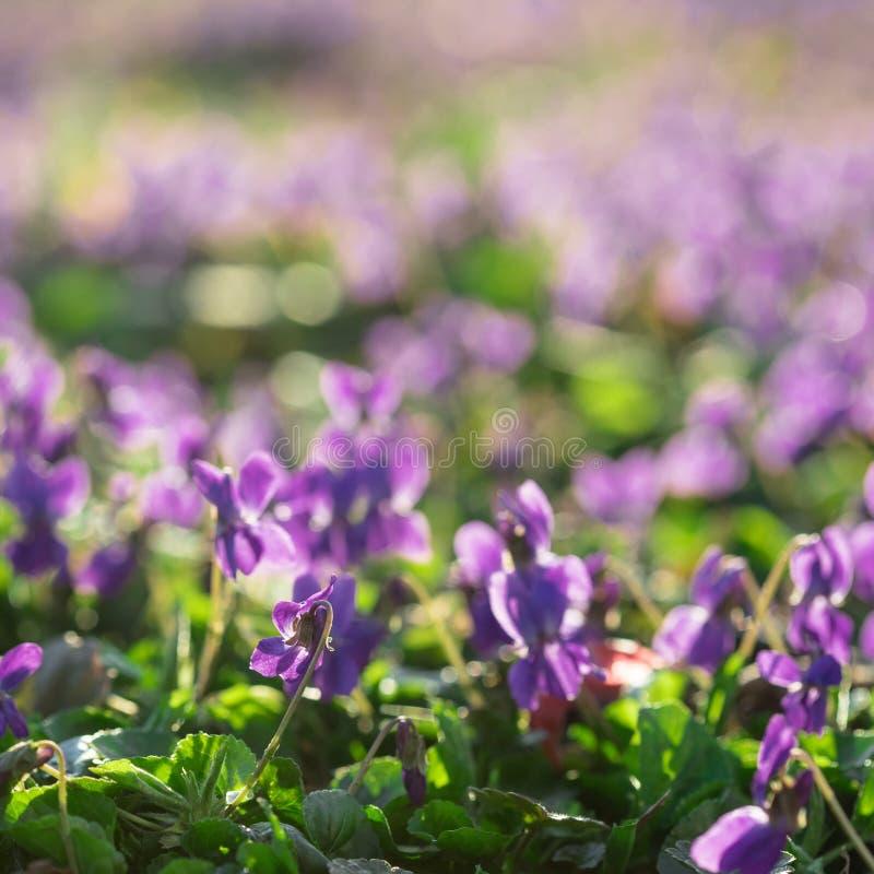 Violettes dans Sunny Early Spring Garden photos stock