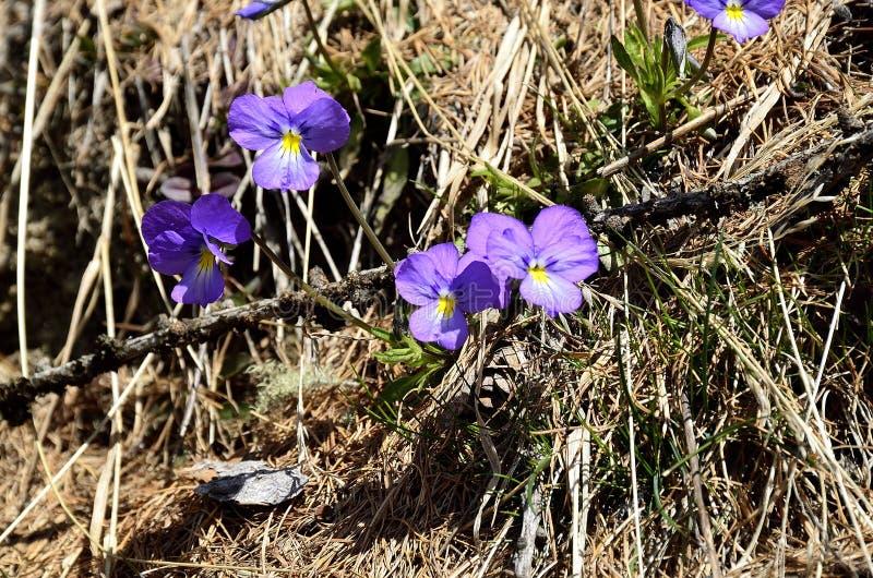 Violettes de floraison images libres de droits
