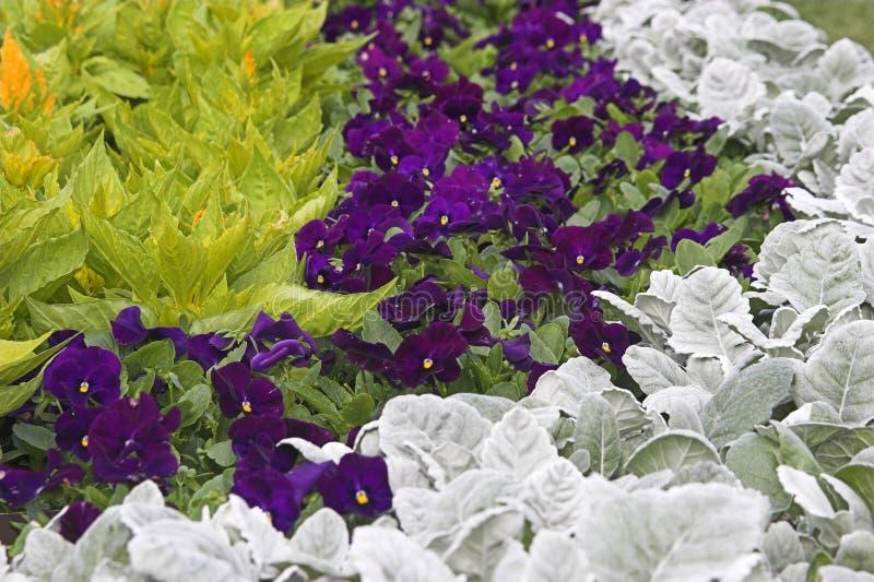 Violettes et centrales photos stock