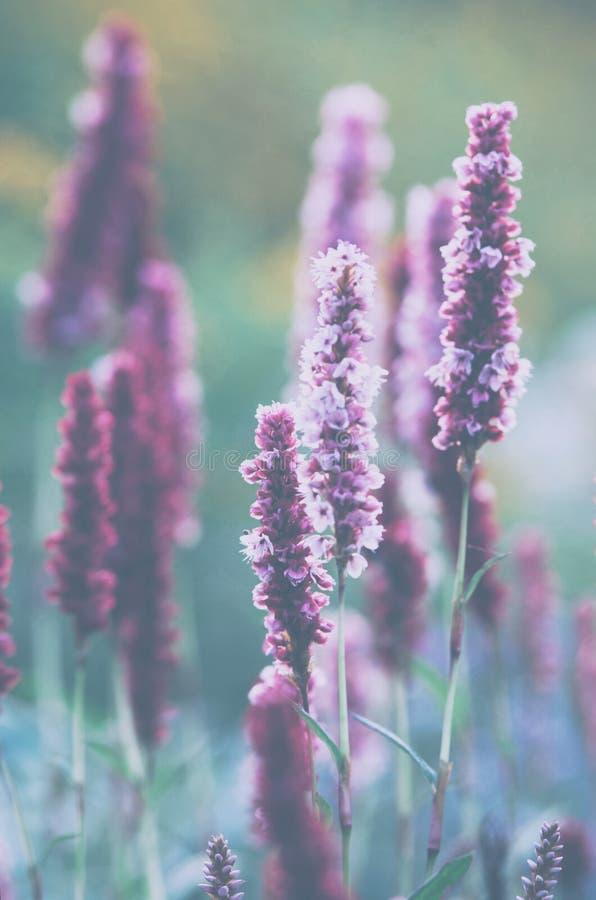 Violettes Feld blüht, ein kühler Sommermorgen stockfotos