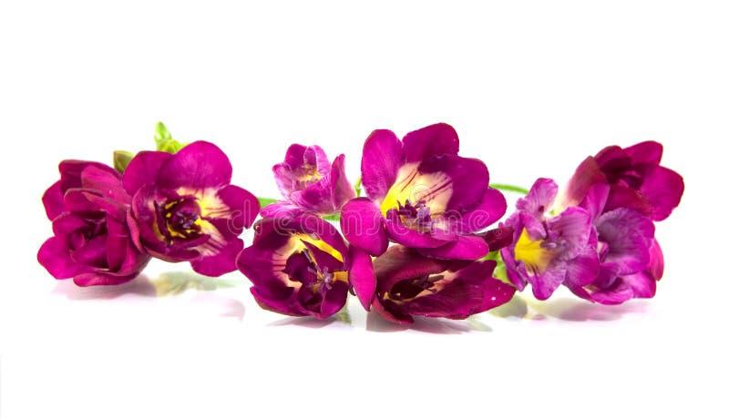 Violettes fresia lizenzfreie stockfotografie