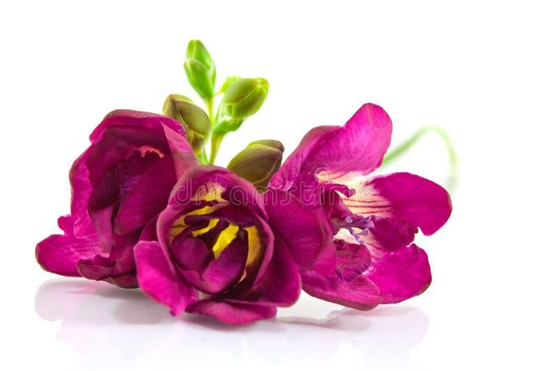 Violettes fresia auf Weiß lizenzfreie stockfotografie