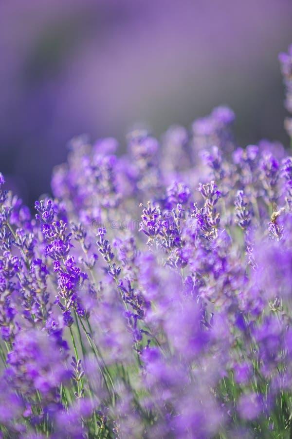Violettes Lavendelfeld in Provence mit Platz für Text auf die Oberseite stockfotos