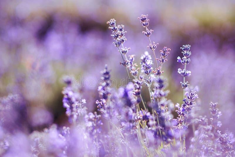 Violettes Lavendelfeld am weichen Lichteffekt stockfoto