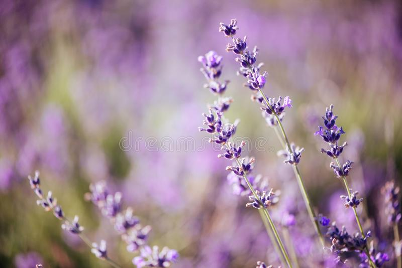 Violettes Lavendelfeld am weichen Lichteffekt lizenzfreies stockbild