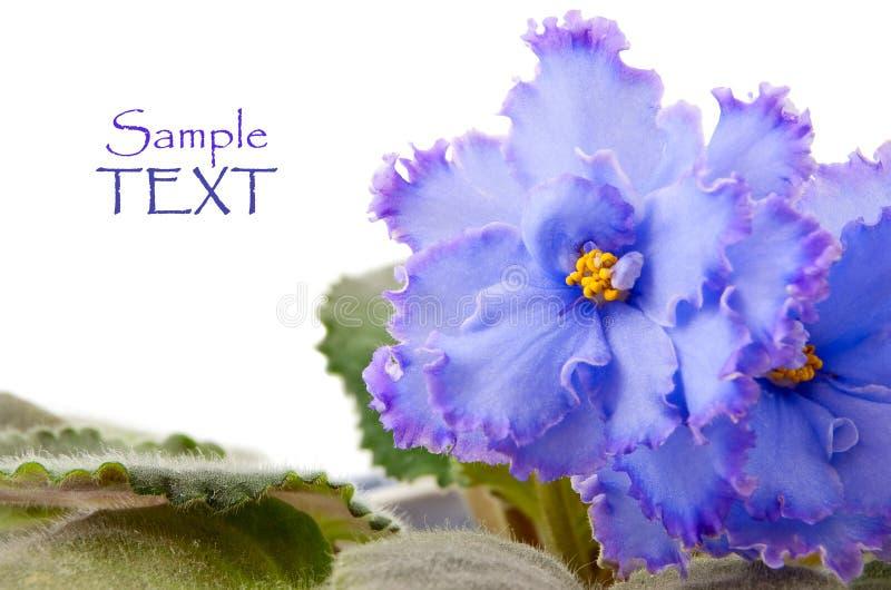 Violettes sur le blanc photo libre de droits