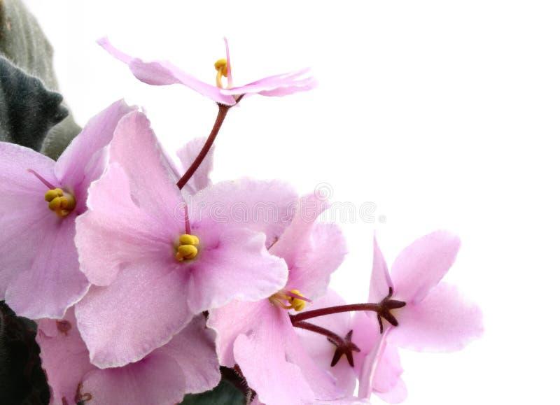 Violettes sur le blanc photos libres de droits