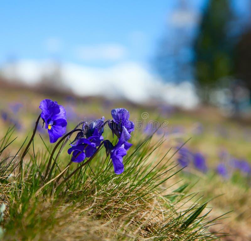 Violettes violettes photo libre de droits