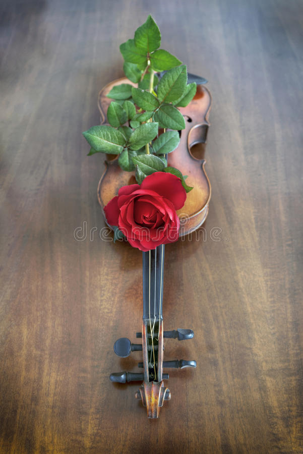 Violin with rose royalty free stock photography