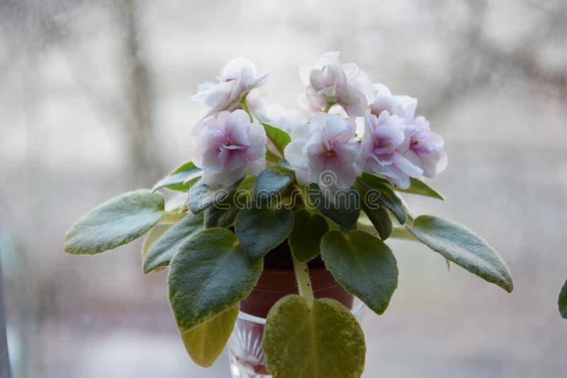 viooltje stock afbeelding