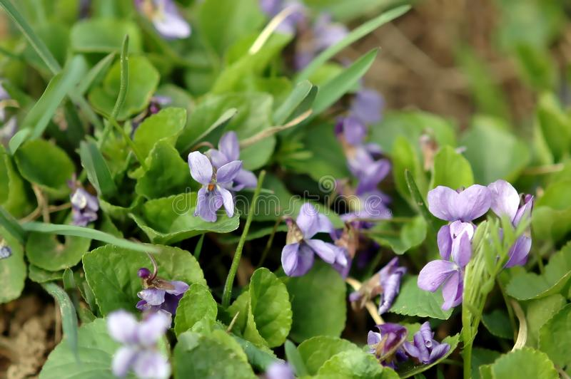 Viooltje, Altviool, violette bloesems in de lente, close-up, met groene bladeren stock fotografie