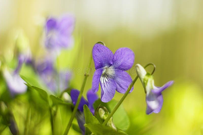 viooltjes royalty-vrije stock foto's
