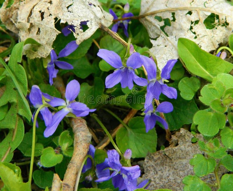 viooltjes stock afbeelding