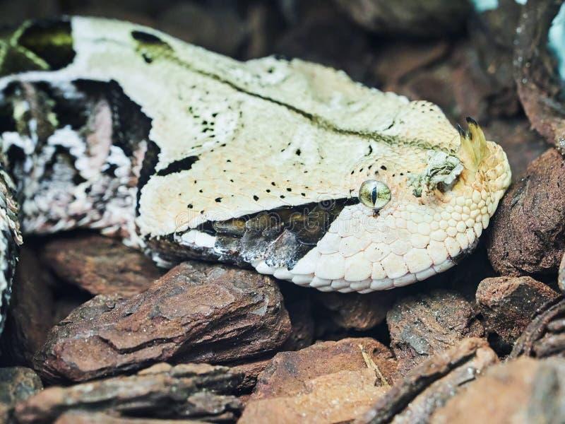 Vipère de Gaboon au zoo photos libres de droits