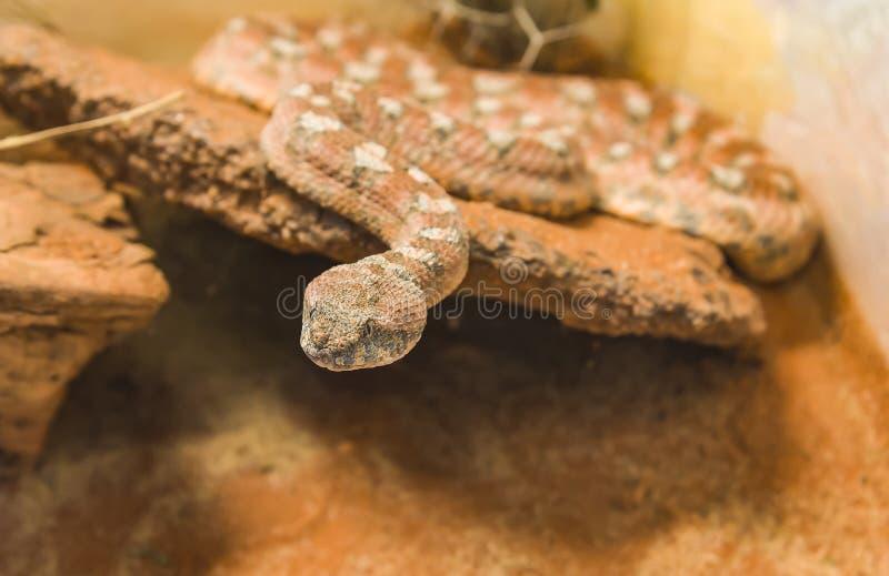 Vipère de tapis Pit Viper Snake malais sur le sable images libres de droits