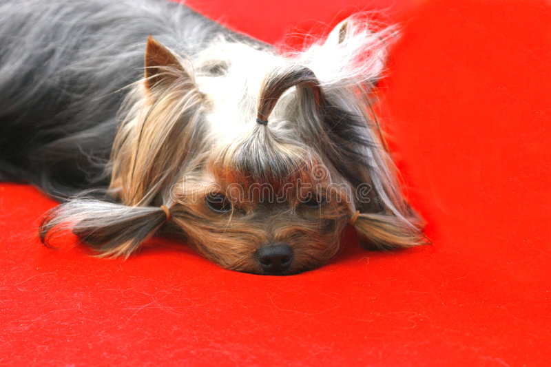 Download The VIP  dog stock photo. Image of mouth, open, happy, breed - 301756