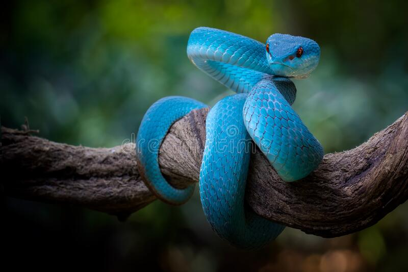Viper bleu avec yeux rouges en position défensive photos stock
