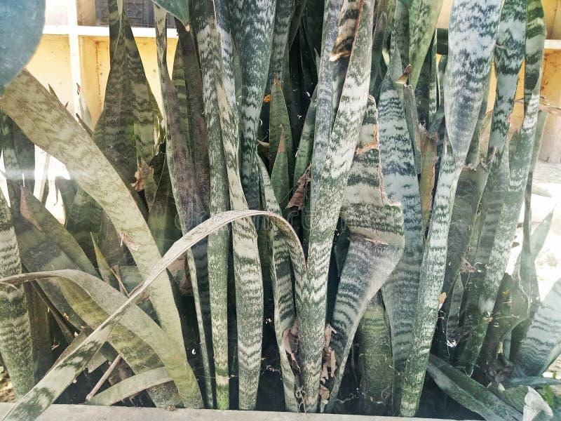 Viper& x27; hempPlants del bowstring di s fotografia stock