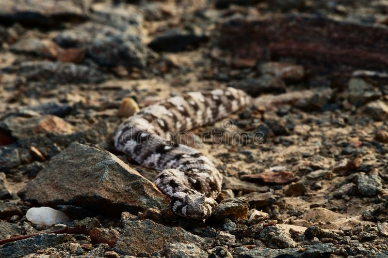 Viper in savannah in namibia stock photography