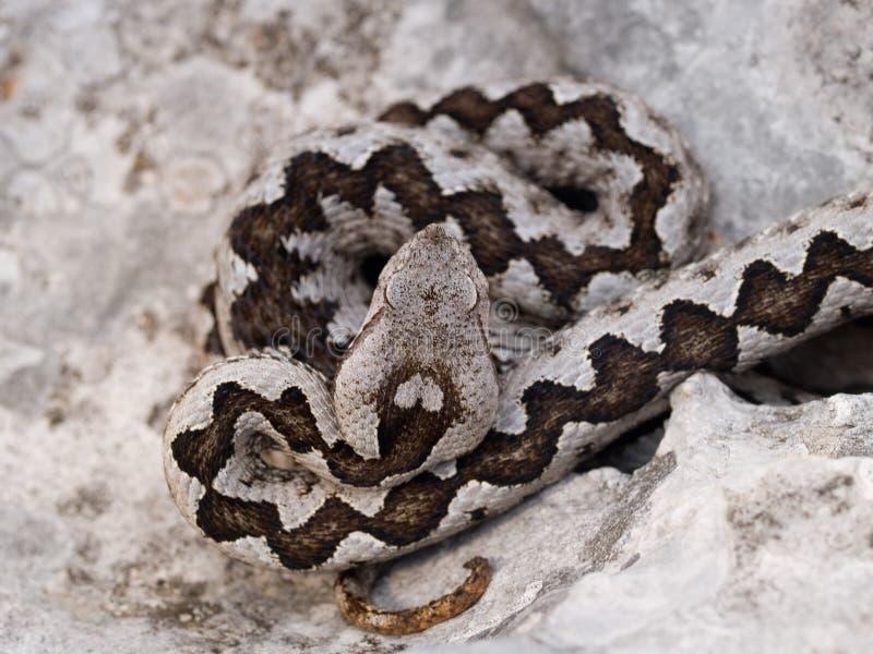 Vipera ammodytes, Nose-horned Viper, Long-nosed Viper, Horn Viper, European Viper, Sand Adder, Sand Viper, Bulgarian Viper royalty free stock photos