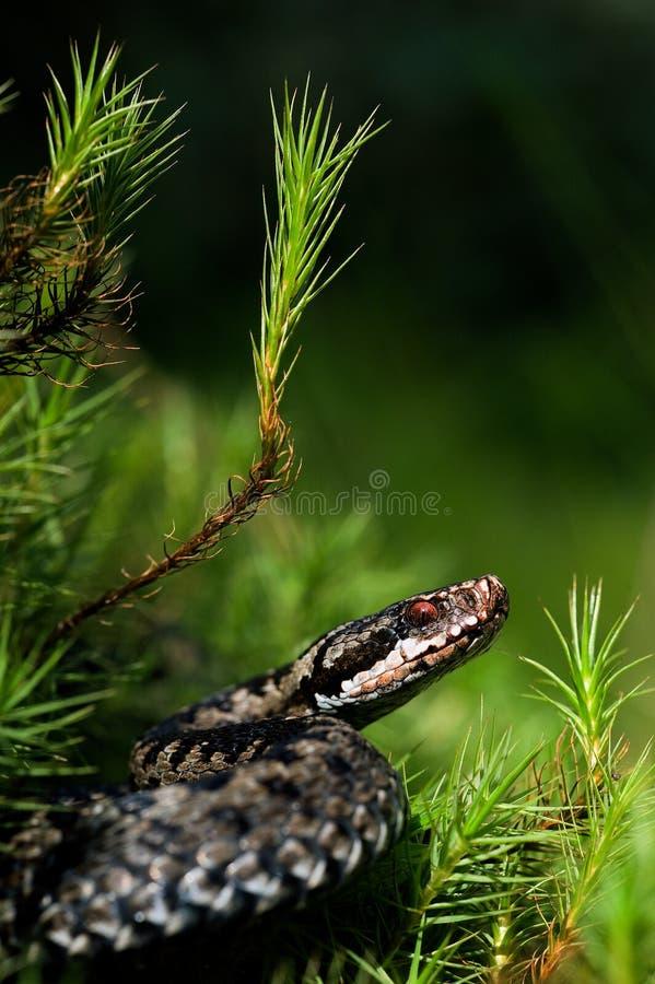 Vipera europea. fotografia stock