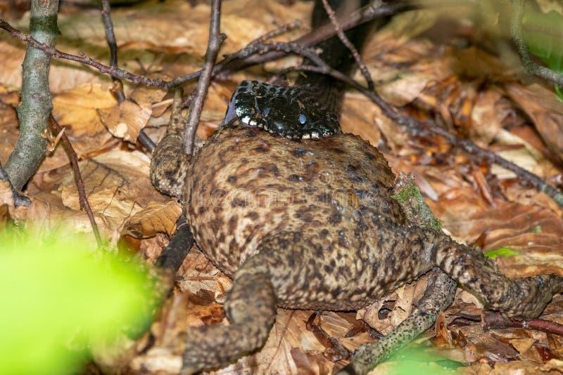 Vipera nera del serpente che mangia grande rana fotografie stock libere da diritti