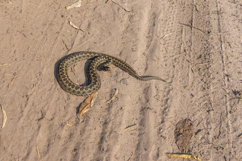 Vipera ursinii lying on a sandy soil at sunny autumnal da stock photo