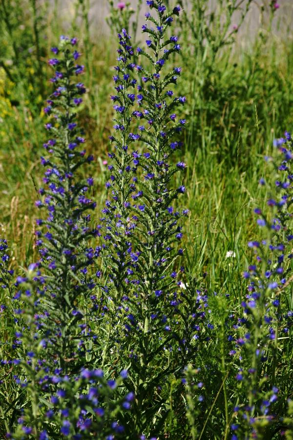 Vipers Bugloss. A wild meadow with the flowers of the Vipers Bugloss in the foreground royalty free stock images