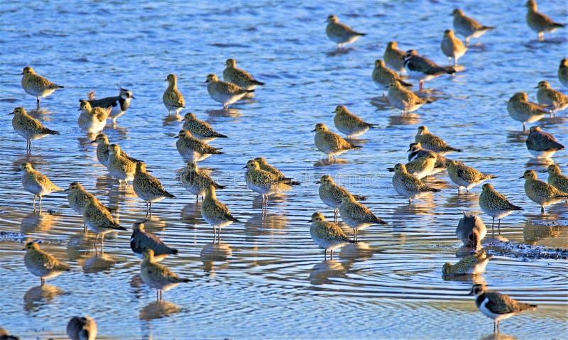 Vipor står vakten över en flock av den guld- brockfågeln på den gamla heden för RSPB Barnsley royaltyfria bilder