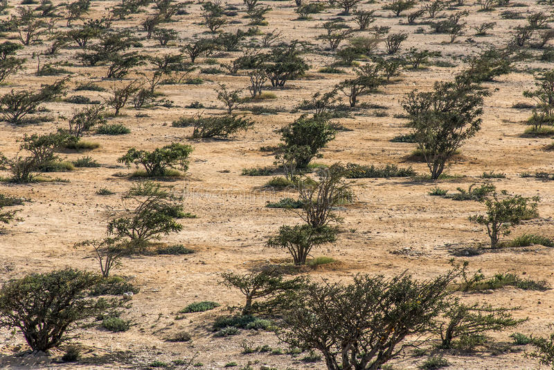 Virakträdet planterar den åkerbruka växande öknen för plantagen nära Salalah Oman 5 royaltyfri bild