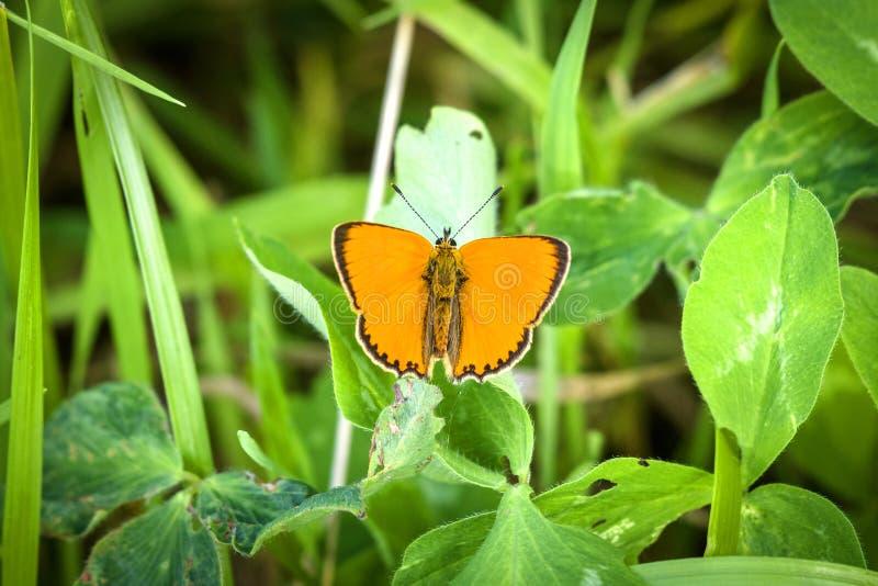 Virgaureae de cobre escassos alaranjados bonitos do Lycaena da borboleta fotografia de stock