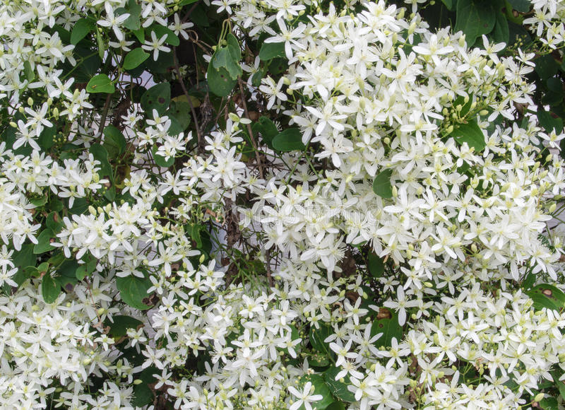 Virgin's Bower – Clematis virginiana. Virgin's Bower flowers consist of 4 to 5 white petal-like sepals and many white stamens in clusters in royalty free stock image
