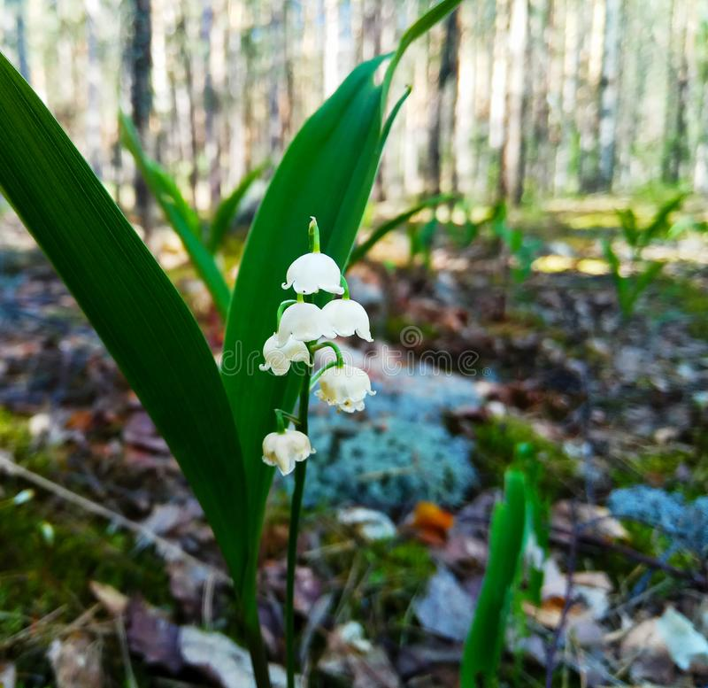 Virgin nature of Russia. lilies of the valley in the spring forest. royalty free stock photos