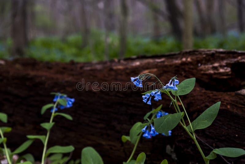 Virginia Bluebell Wildflowers - l'Ohio image libre de droits