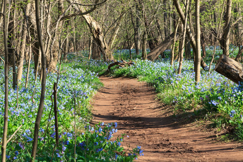 Virginia Bluebell Woodland Trail royaltyfria bilder