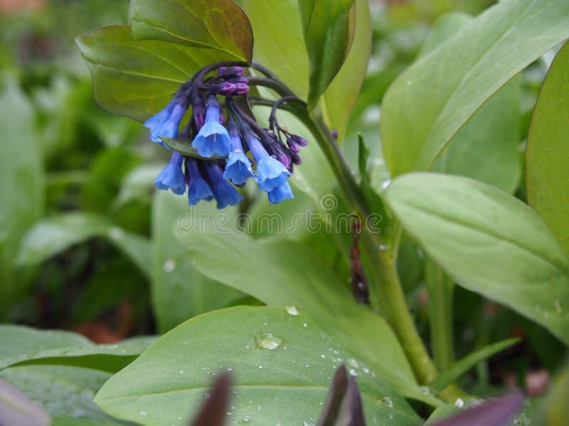Virginia Bluebells Berlin-dahlem botanisk trädgårdmars 2019 arkivbilder