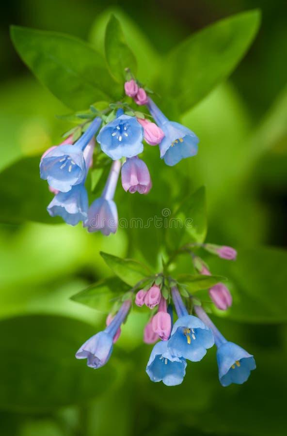 Virginia Bluebells (virginica del Mertensia) imagenes de archivo