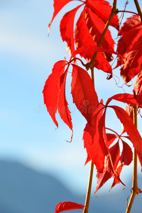 Download Virginia Creeper Royalty Free Stock Images - Image: 16322589