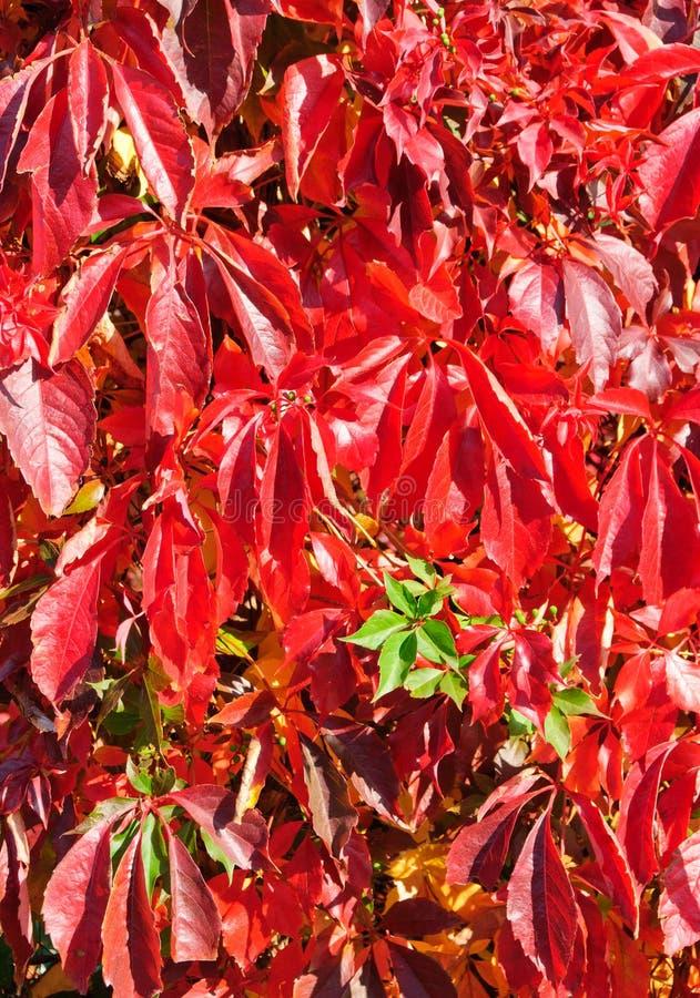 Virginia Creeper In Autumn Royalty Free Stock Image