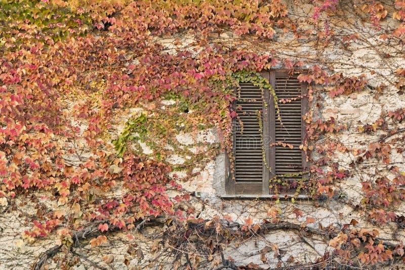 Download Virginia creeper in autumn stock photo. Image of tricuspidata - 27940274