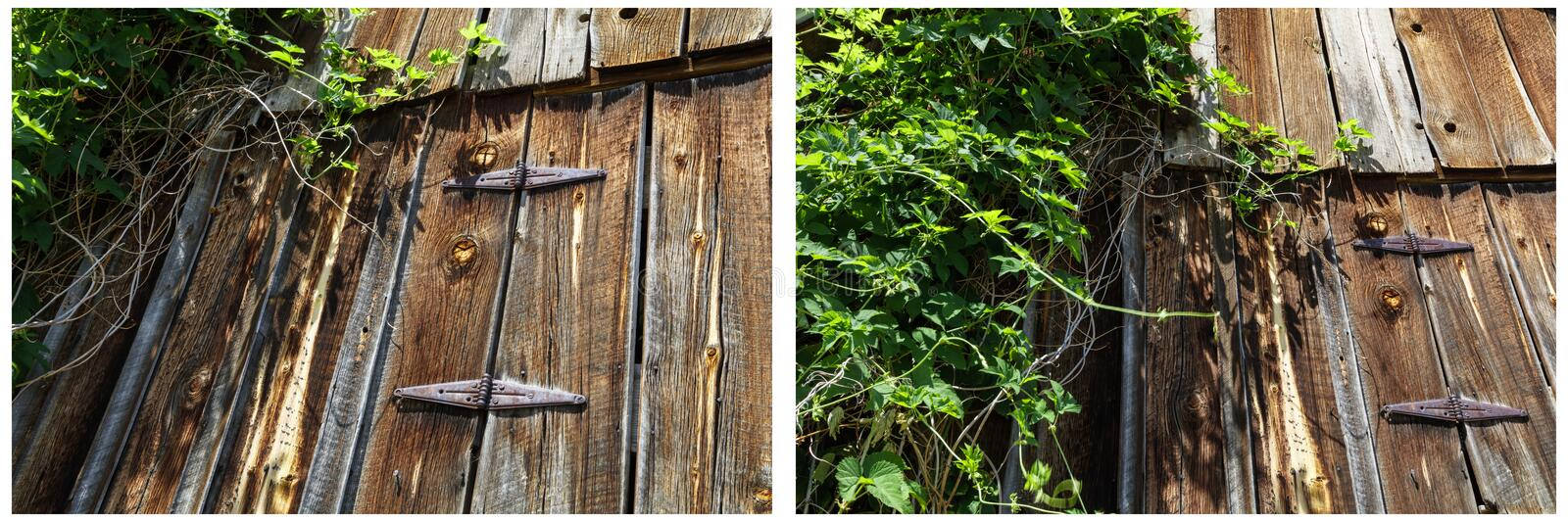 Weathered barn door hinges vines collage stock photo