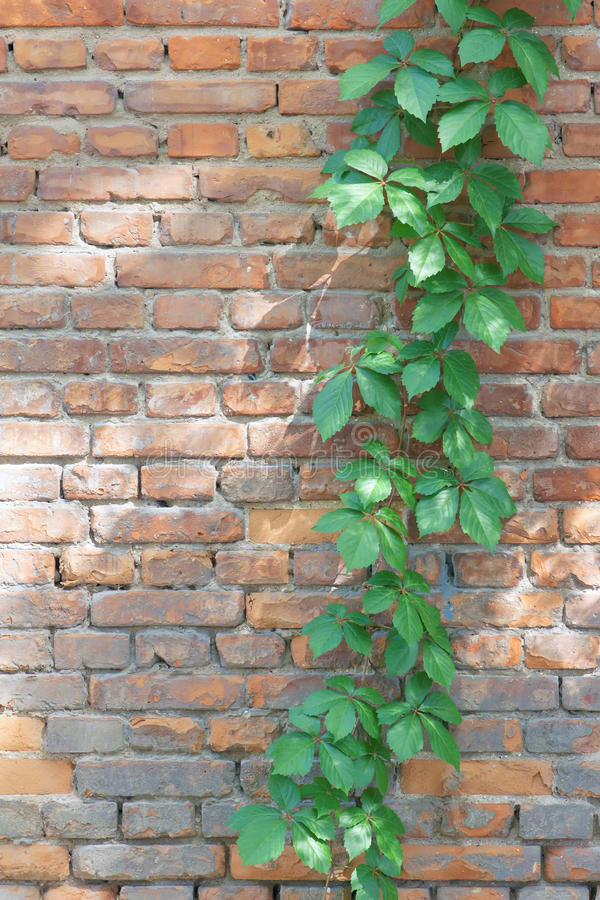 Virginia creeper. The close-up of Virginia creeper(Scientific name: Parthenocissus thomsoni) on brick wall royalty free stock image
