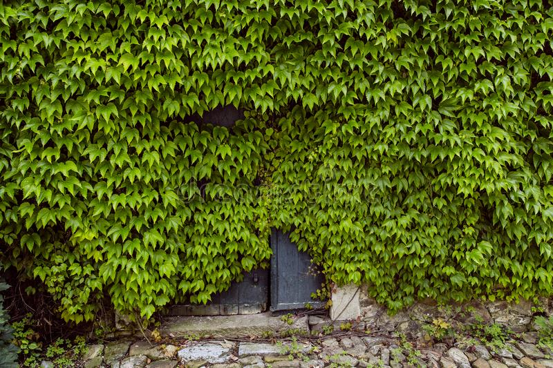 Virginia creeper has taken possession of historic building. By not using the building for decades, nature has taken possession of it royalty free stock photo