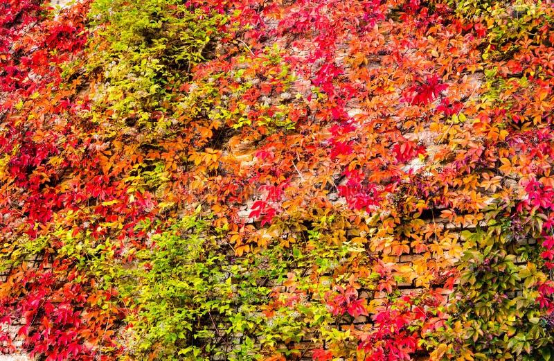 Virginia creeper ivy background. Virginia creeper ivy, Parthenocissus quinquefolia in autumn colors, background stock image