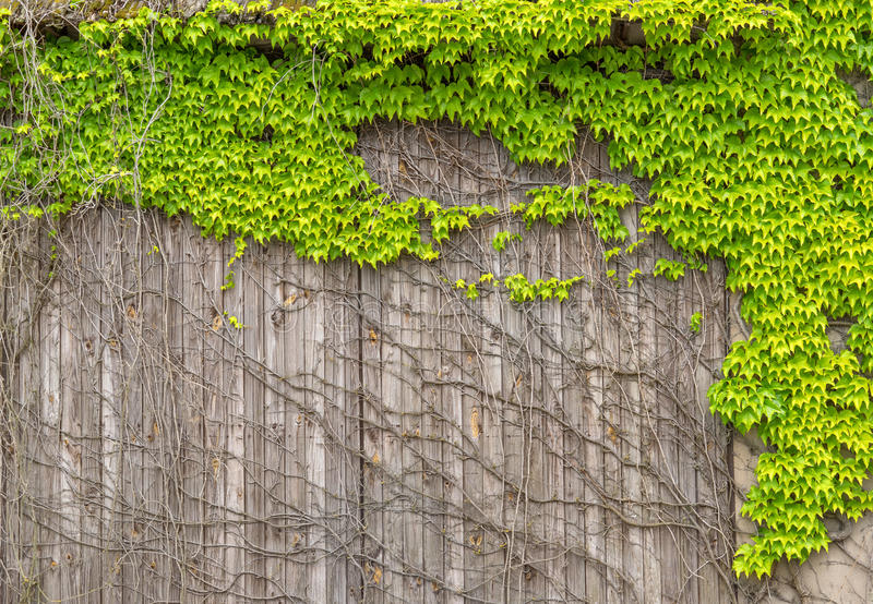 Virginia creeper on an old wooden facade stock images