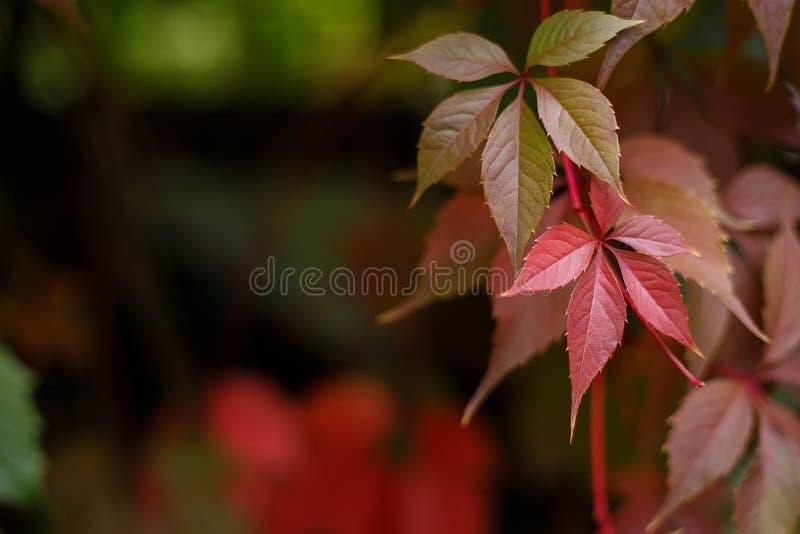 Virginia creeper, Parthenocissus quinquefolia or wild grapes lea stock photos