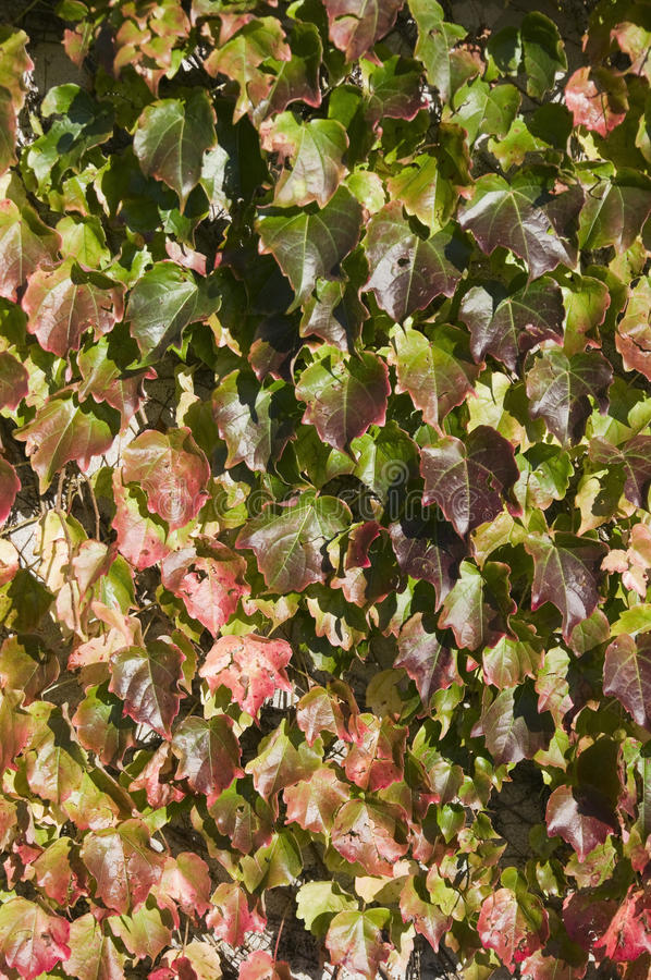 Download Virginia Creeper In The Sunlight Stock Photo - Image: 23554094