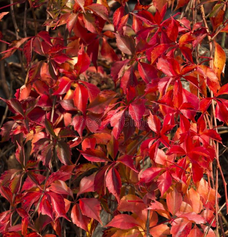 Free Virginia Creeper Vine In Autumn Glory Royalty Free Stock Photo - 40876505