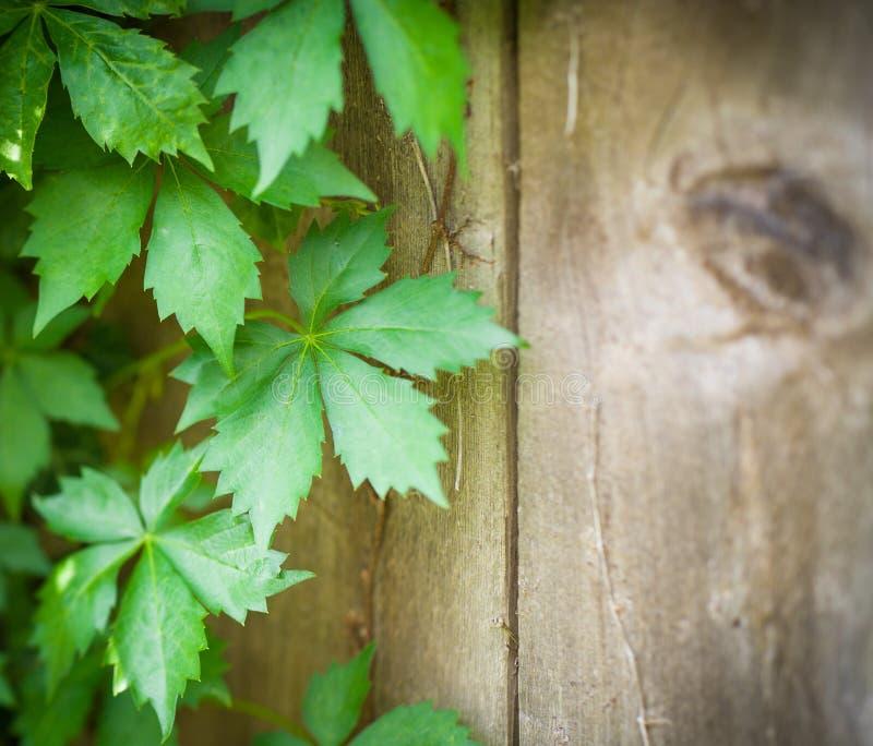 Virginia Creeper Vines en la cerca de madera resistida Barn Wood foto de archivo libre de regalías